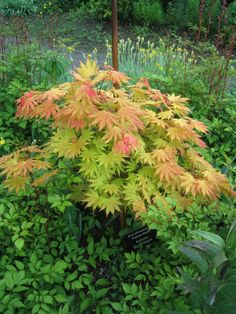 acer autumn moon - Google Search