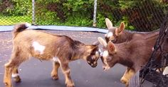 I. Can't. Breathe. Baby Goats Playing On A Trampoline Literally Just Killed Me! | The Animal Rescue Site Blog