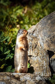 The Marmot:  See more images at http://robert-bales.artistwebsites.com/
