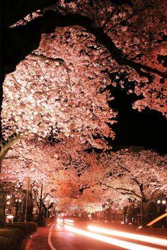 cerisier japonais, un cerisier remarquable contrastant avec le ciel nocturne