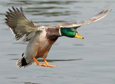 Mallard Duck Identification.  http://www.animalmayhem.com/mallard-duck-identification/