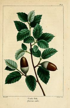 Cork Oak. By Pancrace Bessa (1772 – 1846)