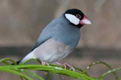 Java Sparrow, Hawaii