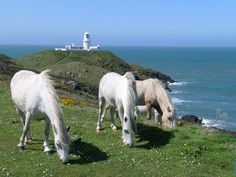 ~ wild ponies in Wales ~ Strumble Head (Pen Strwmbl) is a rocky headland a few miles from Fishguard in North Pembrokeshire ~ 50 miles across the sea from Ireland ~ Welsh Pony, Visit Wales, Relaxing Holidays, Cymru, My Happy Place, Ponies, Great Britain, Places To See, Ireland