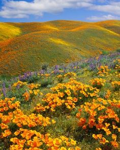 Gently Sloping Flora.  California poppies and purple lupine at Antelope Valley, CA.