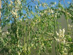 Moringa el árbol de la salud, en flor y vaina.
