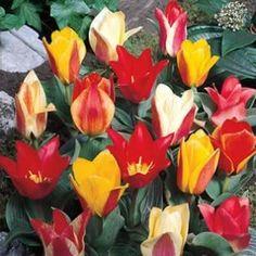 Rockery Tulip Peacock Mixed £4.50 per 25 . . .£8.50 per 50