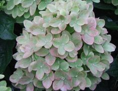 The Little Lime is a hardy hydrangea that is easy to grow and a compact version of the popular and trusted Limelight Hydrangea. Its creamy white flowers bloom in summer and fade to green during fall. Dwarf Hydrangea, Hydrangea Vase, Limelight Hydrangea, Hydrangea Bloom, Hydrangea Colors, Hydrangea Paniculata, Hydrangeas, Little Lime Hydrangea, Hawaiian Gardens