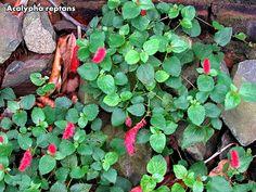 Xerófitas no Brasil - Euphorbiáceas - Comunidade - Google+