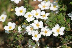 Top 20 des plus beaux arbustes à fleurs - M6 Deco.fr Cactus, Moment, Pots, Inspiration, Gardens, Plants, Single Flowers, White Flowers, Biblical Inspiration