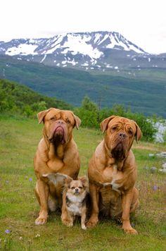 46 Best Dogue De Bordeaux Images Bordeaux Dog Dogue De Bordeaux