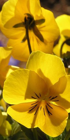☆ Yellow Pansies :: By Liz West ☆