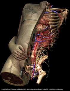 The VOXEL-MAN/Inner-Organs Model consists of 650 threedimensional anatomical objects.