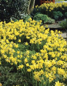 Tete-a-Tete Miniature Daffadils.   Ive always wanted a daffodil garden
