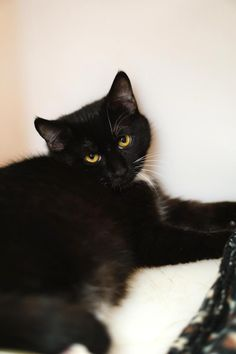Basil is an adoptable male Domestic Short Hair searching for a forever family near Columbia, SC. Basil is bonded with Parsley & must be adopted with her. Available at City of Columbia Animal Services.