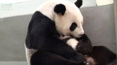 Grab the tissue box and get ready to cry big, fat happy-tears. Taiwan's first newborn giant Panda was officially reunited with her mom on August 12 after a month of separation. In a YouTube video posted by the Taipei Zoo, tiny Yuan Zai's mother cuddles her close for the first time. Their loving emb