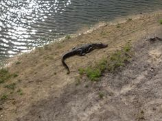 Gator time! - Who me, run?: Oddities