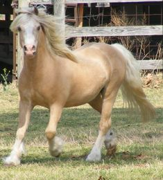 Welsh Mountain Pony (section A) stallion Springbourne El Dorado