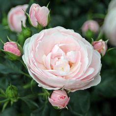 39 candlelight 39 rose photo hybrid tea floribunda co. Black Bedroom Furniture Sets. Home Design Ideas