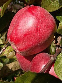 Apple Tree, Tree, Branch, Foliage - Free Image on Pixabay