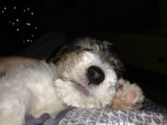 Buddy, My Wire Fox Terrier napping #puppy #napping #sleepy