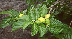 Benefits of noni juice -fruit Raw For Beauty, Noni Juice, Noni Fruit, Juice Smoothie, Smoothies, Flowering Shrubs, Natural Home Remedies, Natural Healing, Health Articles