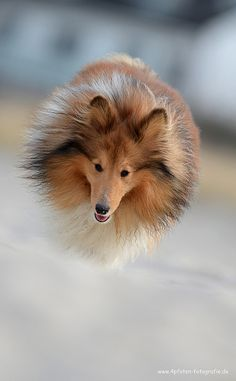 Flying ball of Sheltie fur. Fluffy Animals, Animals And Pets, Cute Animals, Pet Dogs, Dogs And Puppies, Dog Cat, Sheep Dogs, Doggies, Rough Collie