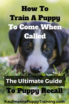 Training a reliable recall is something I have spent years perfecting and in this post I'll share my knowledge with you, making it possible for you to train your dog to come every time you call. Read how at kaufmannspuppytraining.com #dogtraining @KaufmannsPuppy