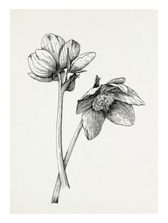 Helleborus niger Giclee Print at AllPosters.com