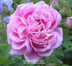 Photo of Rose (Rosa 'Grandmother's Hat') uploaded by zuzu