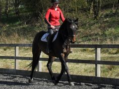 This 16.0hh five-year-old bay #Holsteiner mare could be the horse for you   For #sale on #HorseDeals