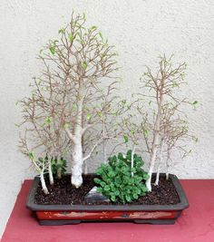 bonsai tree, ficus