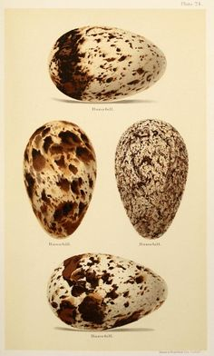 Henry Seebohm 1832-95, Razorbill Eggs   Seebohm's publications included  Siberia in Europe (1880) and Siberia in Asia (1882), combined in the posthumous publication The Birds of Siberia (1901) A History of British Birds (1883)  The Geographical Distribution of the family Charadriidae (1887) The Birds of the Japanese Empire (1890)  A Monograph of the Turdidae (1898).