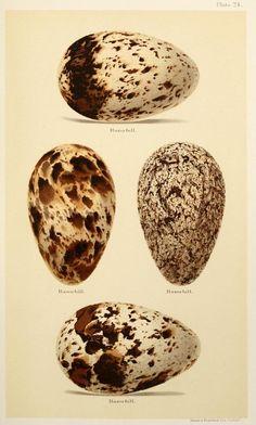 Speckeld egg