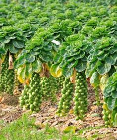 Brussels Sprouts plants grow best when planted for a fall harvest. Detailed growing tips for planting them in your fall vegetable garden. Fall gardening, vegetable garden, gardening, gardening tips Fall Garden Vegetables, Organic Gardening, Autumn Garden, Plants, Garden, Growing Vegetables, Container Gardening, Farm Gardens, Gardening Tips