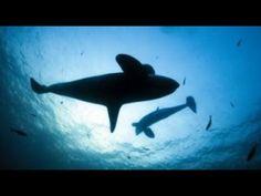 A last refuge for European orcas - BBC News