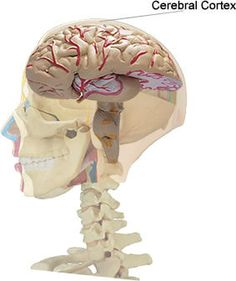 Primary visual cortex inferior view brain pinterest cerebral learn the basic structures of brain anatomy ccuart Image collections