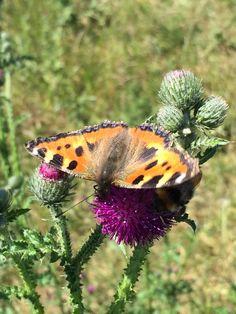 Tidsel og sommerfugl