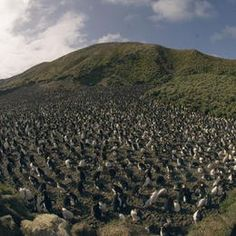 Royal Penguin colony, Sandy Bay, Macquarie Island (UNESCO World Heritage Site), Australia (©M & G Therin-Weise) -  site of major geoconservation significance, being the only place on earth where rocks from the earth's mantle (6 km below the ocean floor) are being actively exposed above sea-level. These unique exposures include excellent examples of pillow basalts and other extrusive rocks.