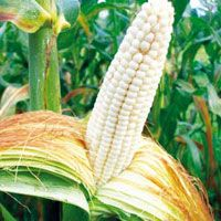 Corn : Texas Honey June - True corn flavor with a sweetness reiminscent of honey, widely adapted