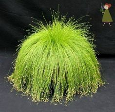 """Fiber Optic Grass (or as I would have named it, """"Cousin It Grass"""") is a lovely ornamental grass to add to your landscaping."""