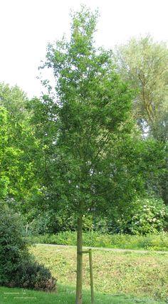 Alnus glutinosa – zwarte els, inheems, vaak een struik maar kan tot een grote boom (20-25 m.) uitgroeien. Bloei: gele katjes in maart, is zeer windbestendig, verdraagt vochtige gronden, vaak in windsingels gebruikt.