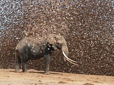 Elephant and red-billed queleas, Kenya  - Antero Topp