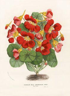 Tropoeolum Majus Atrosanguineum Nanum - Louis Van Houtte, Flore de Serres et des Jardins de l'Europe Botanical Prints 1851
