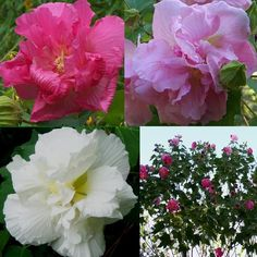 Shop by Color - Pinks - Confederate Rose Double Hibiscus Seeds, Hibiscus mutabilis either a Rose nor Confederate, this perennial (Hardy to zone 7) Hibiscus is a native of China, but performs wonderfully in the the southern US. Confederate Rose has 'mutant' blooms in the fall,   meaning the blooms change color as they age.    Starting off white, they change to a light pink then dark pink as the day goes on. You can, at times, have all three colors on your bush at once