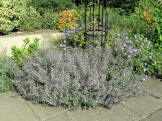 Calamintha nepeta-- add to the existing in the front sunny beds to tie them all together