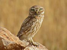 Owl - Wikipedia, the free encyclopedia
