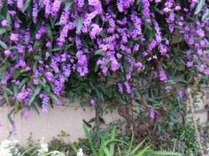 PLANT SPOTLIGHT – LILAC VINE/HARDENBERGIA VIOLACEA | Patch