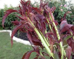 Almost all in the gardening world believe rose rosette disease is incurable — except our own Howard Garrett.