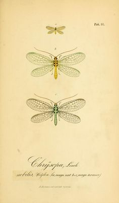 Symbolae ad monographiam generis chrysopae, Leach.1851 - Biodiversity Heritage Library